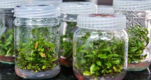 دستاورد محققان بیوتکنولوژی کشور در حوزه «گیاهان هوشمند سازگار با تغییرات اقلیمی»